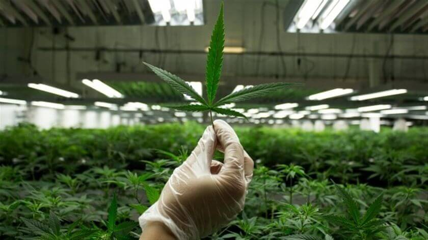 Cultivation of marijuana for medical purposes may be legalized in Australia